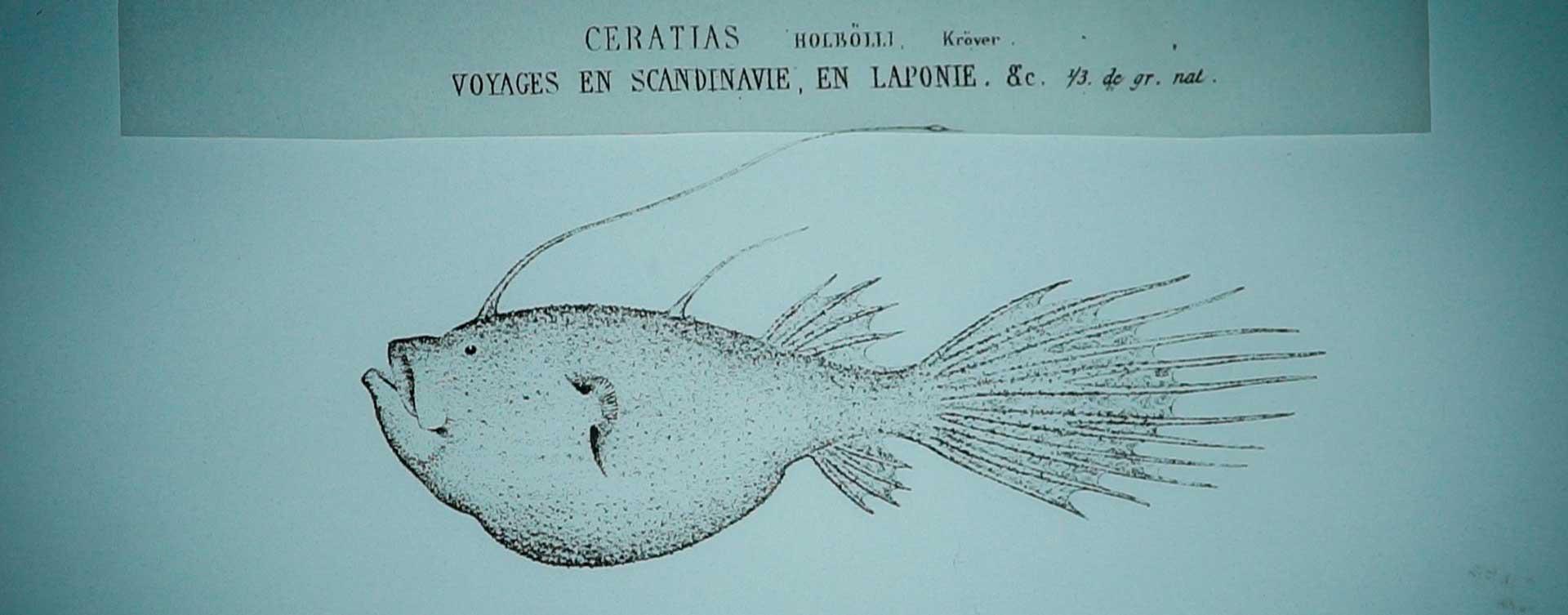 Dibujo científico a línea de un pez abisal para el corto augas abisáis